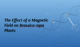 The Effect of a Magnetic Field on Brassica Rapa