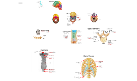 CH 5 Axial Skeleton Notes