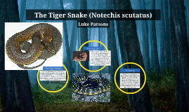 The Tiger Snake (Notechis scutatus)