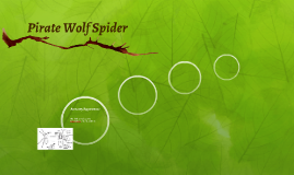 Pirate Wolf Spider