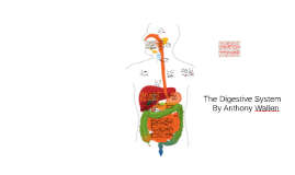 Copy of The digestive system has specialized cells that secret diges