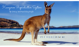 Kangaroo Reproduction