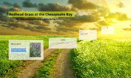 Redhead Grass at the Chesapeake Bay