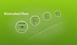 Waterwheel Plant