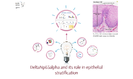 DeltaNp63alpha and its role in epithelial stratification