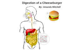 Digestion Of a Cheese buger