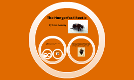 Hungerford Beetle