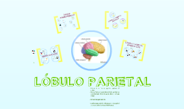 Copy of Lóbulo Parietal