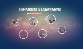 Chimpanzees In Laboratories