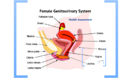 Copy of Female Genitourinary System 2