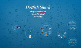 Copy of Dogfish Shark