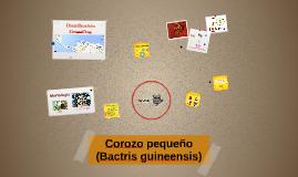 Corozo (Bactris guineensis)