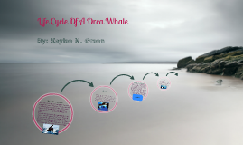 Lie Cycle Of A Orca Whale