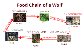 Mexican Grey Wolf Food Chain